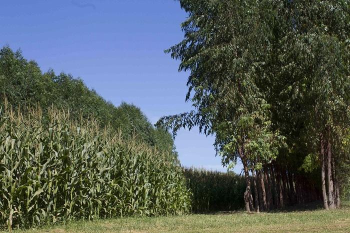 Uma das tecnologias aplicadas pelo ABC Cerrado foi a Integração Lavoura-Pecuária-Floresta (iLPF).