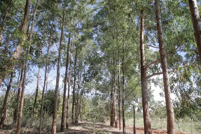 Área experimentação consorcia eucalipto e plantas nativas do Cerrado