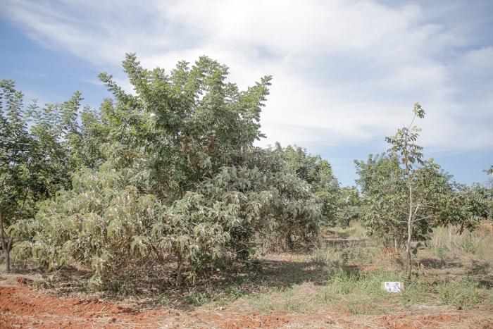 Nessa área a recomposição da vegetação foi realizada por meio de semeadura direta